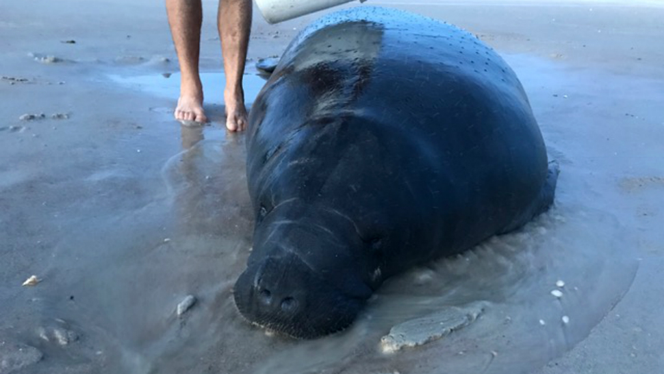 A Female Manatee Is Back Out To Sea After Concerned Beachgoers Cared For The Animal